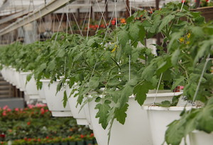 Cherry Tomato                               Hanging Basket