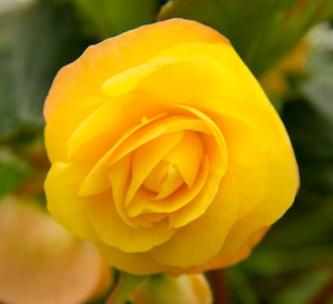 Illumination Yellow                               Begonia