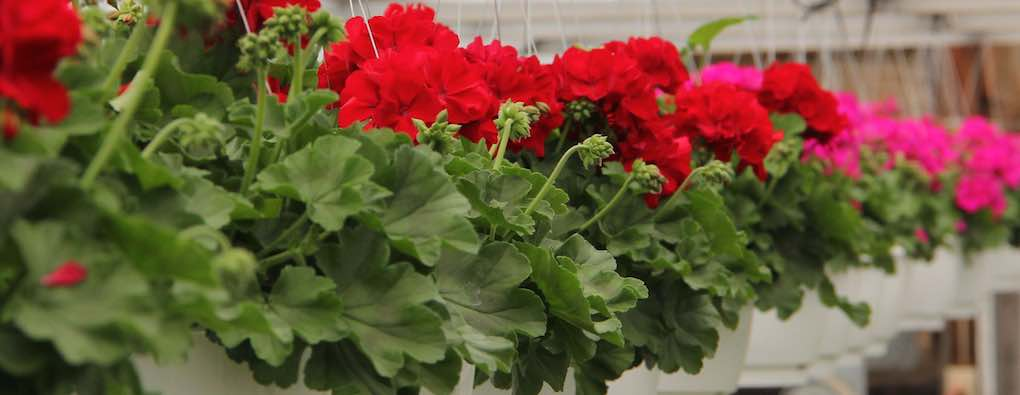 Calliope Dark Red hanging                   baskets